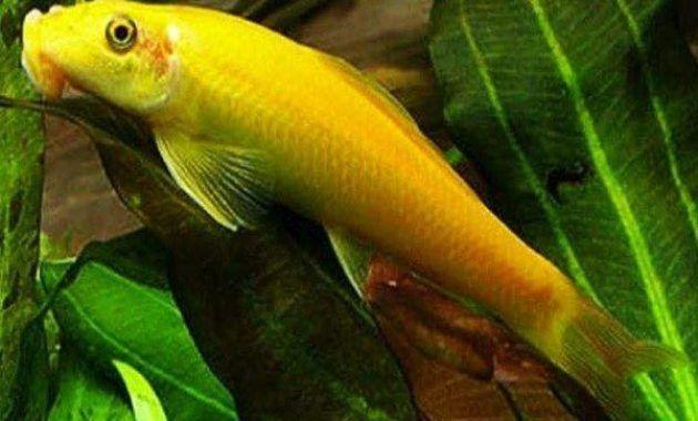 Ikan Cae Chinesse Algae Eater Ikan Hewan Aquarium