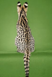 The beautiful markings of the Savannah Cat. I'm soooo getting one plus Ayden and Mia size!