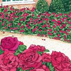 Double Knock Out Rose Hedge - Rose Bushes for Sale
