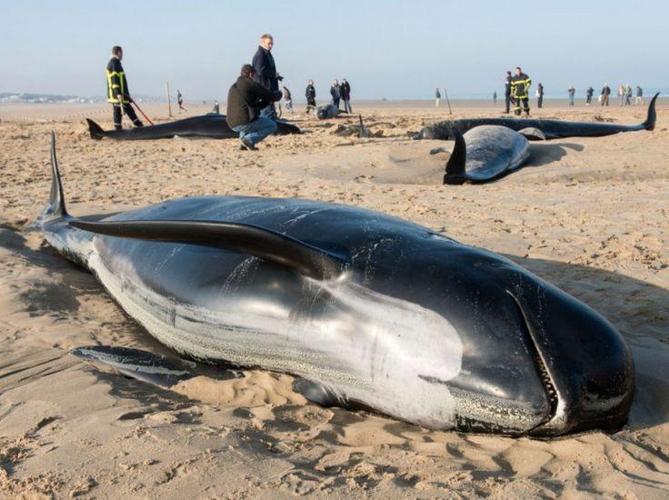 """Dix baleines ont été découvertes échouées sur la plage de Calais, au matin du 2 novembre. Parmi elles, deux femelles et deux baleineaux étaient toujours en vie, qui ont été remis à la mer par les services de la ville. """"Il est possible qu'il s'agisse d'un échouage familial volontaire, dans le cas où le mâle dominant serait mort en mer. Le reste de la famille l'aurait alors accompagné"""", a avancé un spécialiste à l'AFP."""