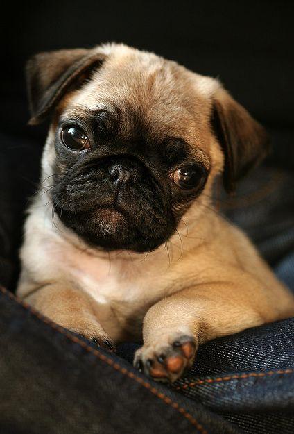 we-heart-pugs | Noah's Ark | Pugs, Dogs, Pug love