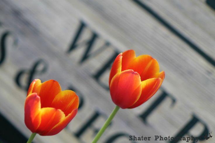 Tulips | Flickr - Photo Sharing!