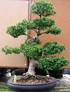 fukien tea (ehretia microphylla)