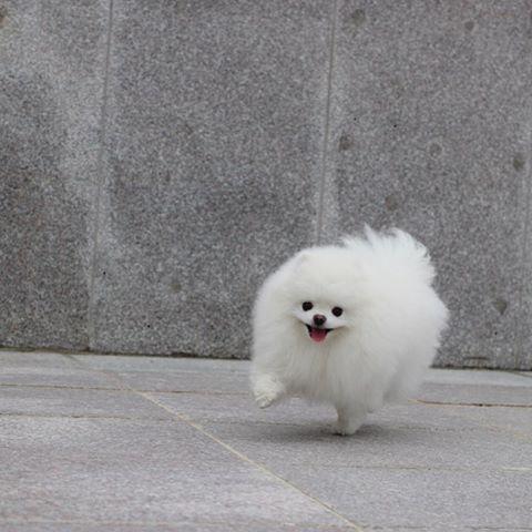 Best Toy Pomeranian Ideas On Pinterest
