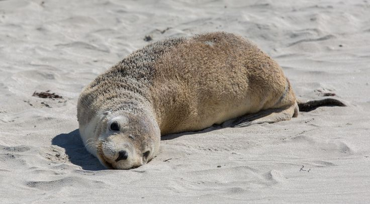 Seals can be seen or skerries off fly cove. Check out East Gippsland in Victoria for your next family holidays. http://www.ozehols.com.au/blog/victoria/family-holidays-in-east-gippsland-in-mallacoota-or-in-gipsy-point/ #happyholidays #gippsland