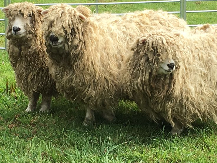 Along the public footpath at Greetham Valley you may spot our three greyfaced dartmoors - Marley, Mildred and Martha.
