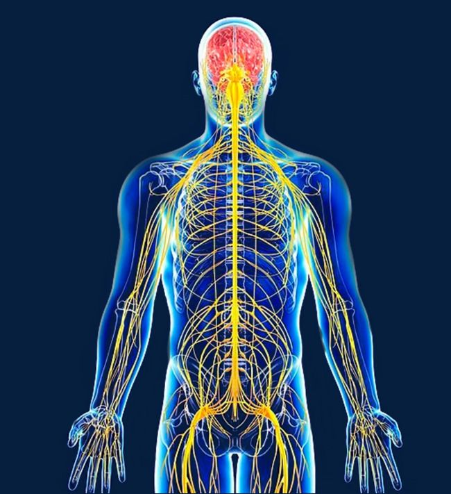 The Structure Of The Human Nervous System Is Positive Png And Clipart Human Nervous System Nervous System Bio Art