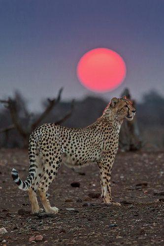 Cheetah At Sunset - Botswana, Africa