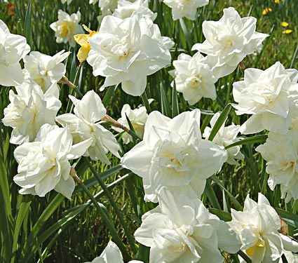 309 best daffodils images on pinterest daffodils beautiful narcissus calgary from white flower farm mightylinksfo