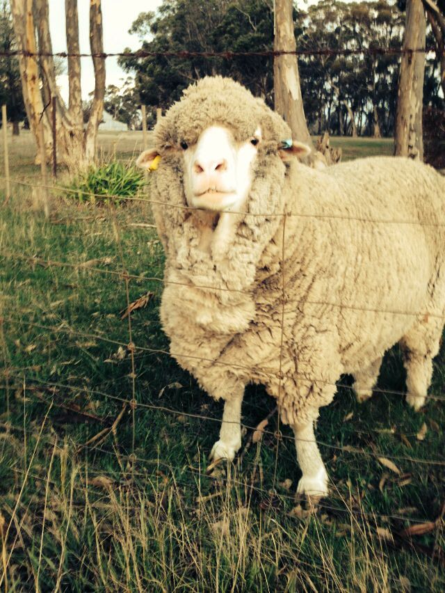 The pet sheep: BOB.