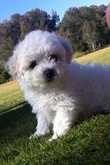 Bichon Frise Purebred Puppies | Bichon Frise puppies for sale Kuraby Queensland on pups4sale - https://www.pups4sale.com.au/dog-breed/421/Bichon-Frise.html