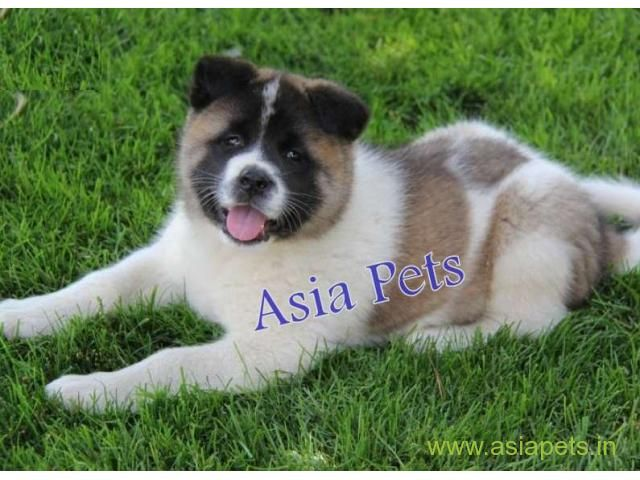 Akita Puppy For Sale In Mysore At Best Price Akita Puppies