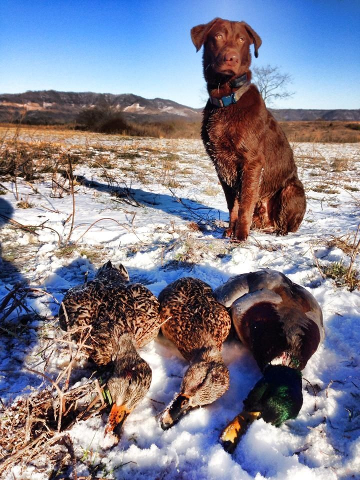 Trigger the duck dog Chocolate lab Hunting dog # ...