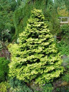 Taylor golden shower cypress
