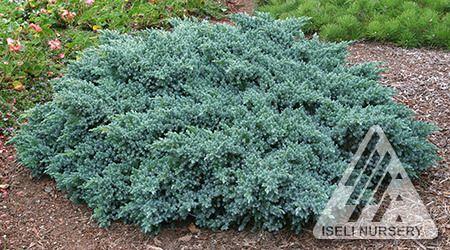 (R) Center Right - Juniperus squamata ' Blue Star ' Flaky Juniper, 1x3  turq flower tub