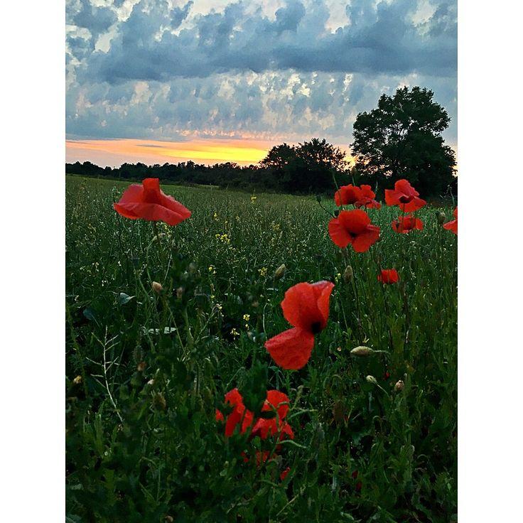 Poppy field in Sweden, looks like a painting.