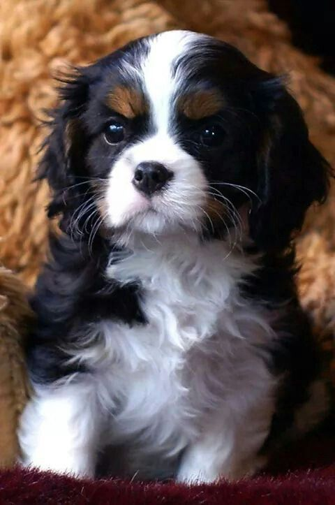 Cute little Cav!!