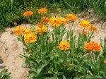 Цветы. Саженцы. Семена Цветов (страница 2)  : фотографии Цветы / макро