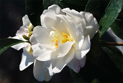 Camellia sasanqua 'Hina Yuki' :: as