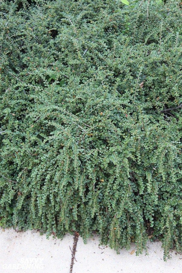 Evergreen Groundcover Plants 20 Choices For Year Round Interest Ground Cover Plants Evergreen Groundcover Best Ground Cover Plants