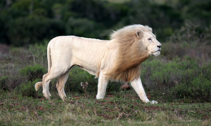 Black Maned Lion Strong Or Scary By Nature Lion Species Male Lion African Safari