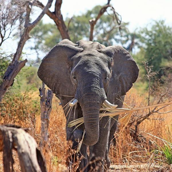 Alimentación del elefante #animales #salvajes #elefante