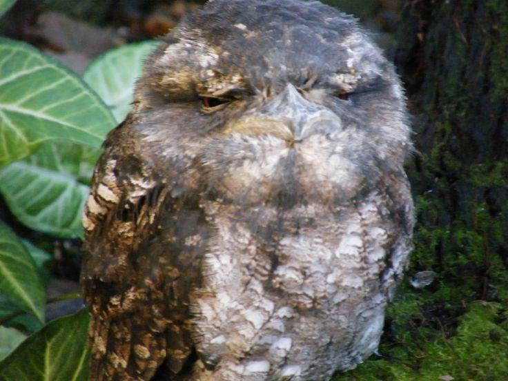 Tawny Frogmouth Owl / holiday Port Douglas 2008