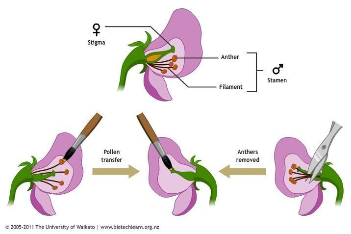 Cross Pollination Of Pea Plants Pollination Plant Life Cycle Experiments