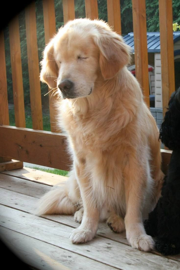 Golden Retriever Born Without Eyes Brings Joy To Others As A