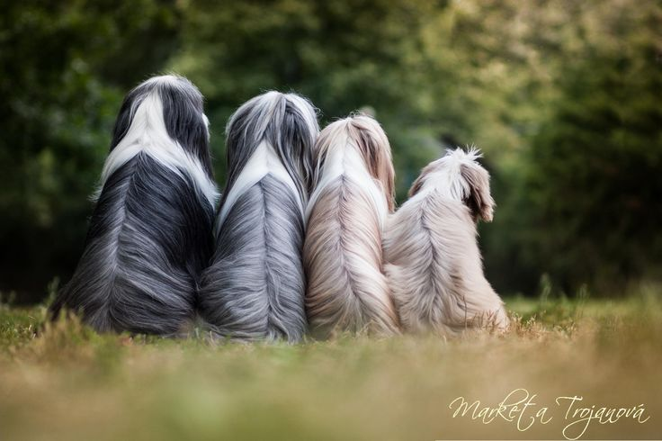 All colors of Bearded Collies by Markéta Trojanová on 500px