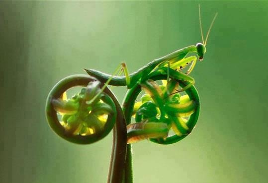 A praying mantis on tendrils... amazing looks like it's on a bike