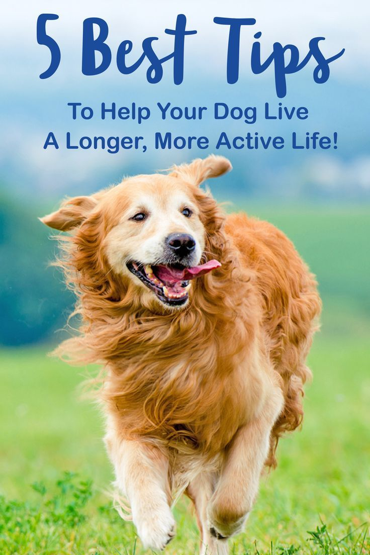 5 Tips To Help Your Dog Live Longer Dogs Live Long Old Golden