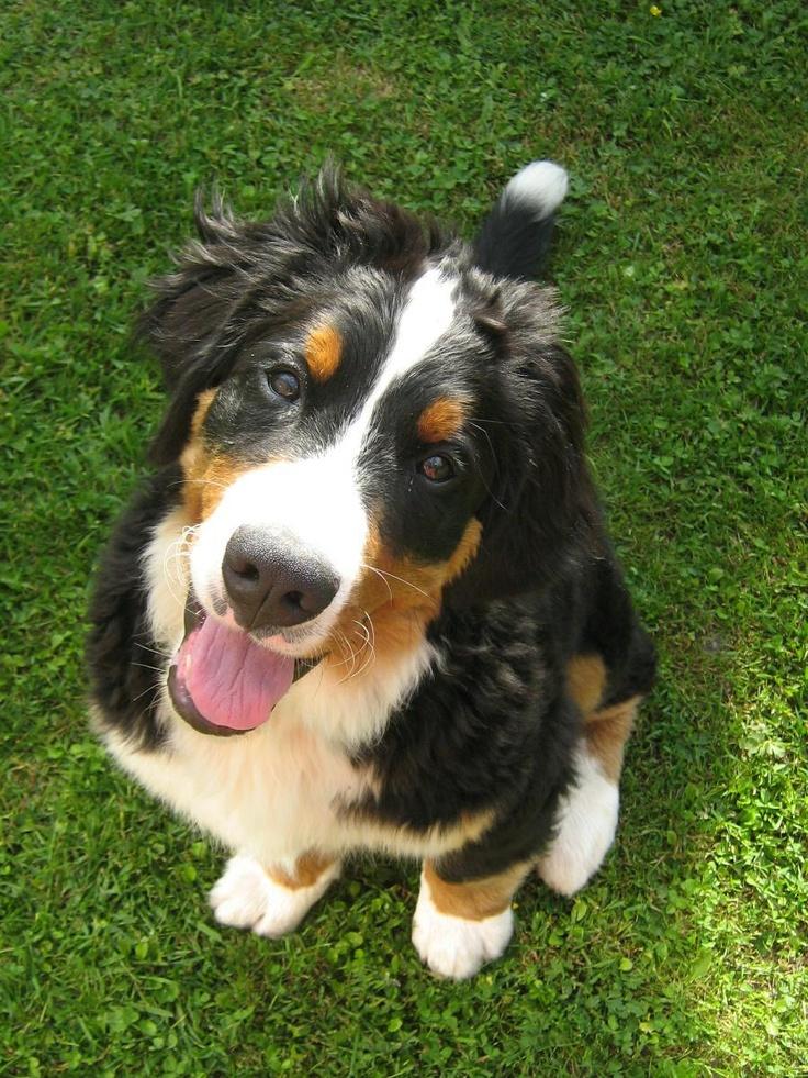 bernský salašnický pes - Kynologická diskuse