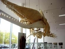 Deutsches Schiffahrtsmuseum - Walfang