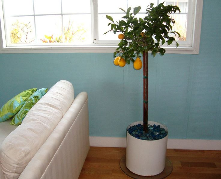 How To Plant and Keep an Indoor Lemon Tree    Home Hacks Guest Post from Maria Finn