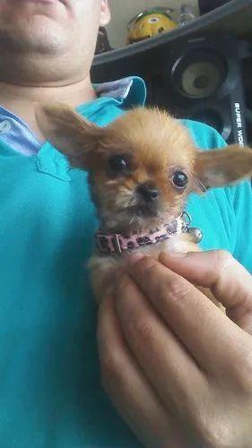 chihuahua miniatura hembrita