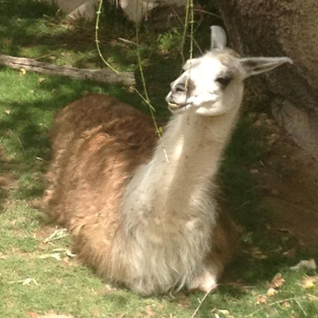 Llama llama llama(:My Friend, Left Eye, Fascinators Creatures, Burning Flames, Pets Llamas, Llamas Rest