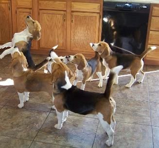 How to get my Beagle's AKC papers?