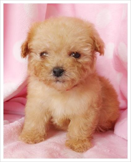zomg so cute! teacup poodle :)