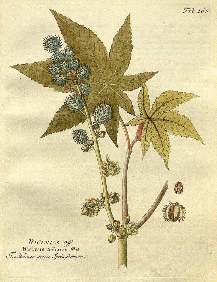 唐胡麻、蓖麻(トウゴマ、ヒマ) トウダイグサ科 Ricinus communis L.  (castor bean, castor oil plant, Castor plant)  Vietz (1804)