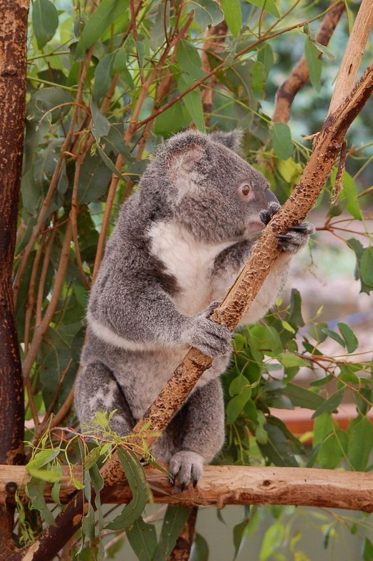 best images about koala s n capital koala sanctuary brisbane