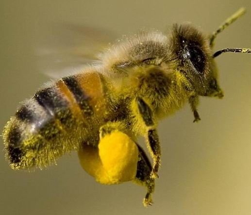 Bee hair