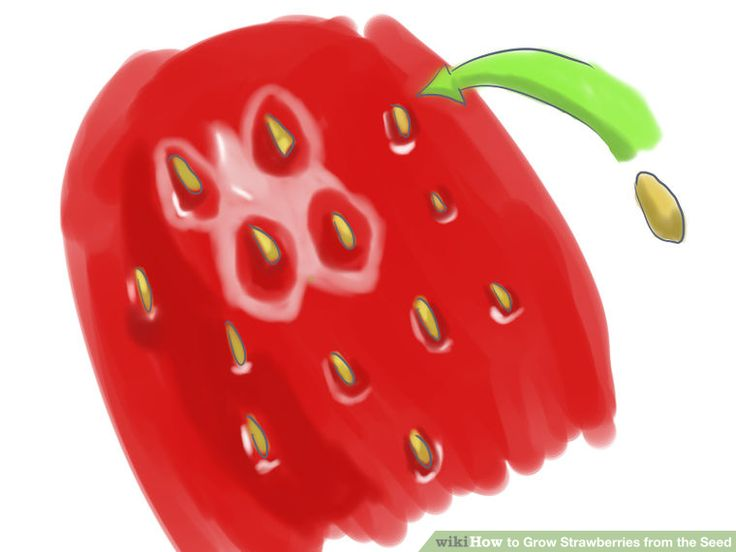 Image titled Grow Strawberries from the Seed Step 1