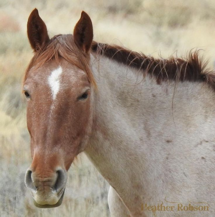 78 best Horses-Colors-Strawberry/Red/Bay Roan images on ... - photo#17