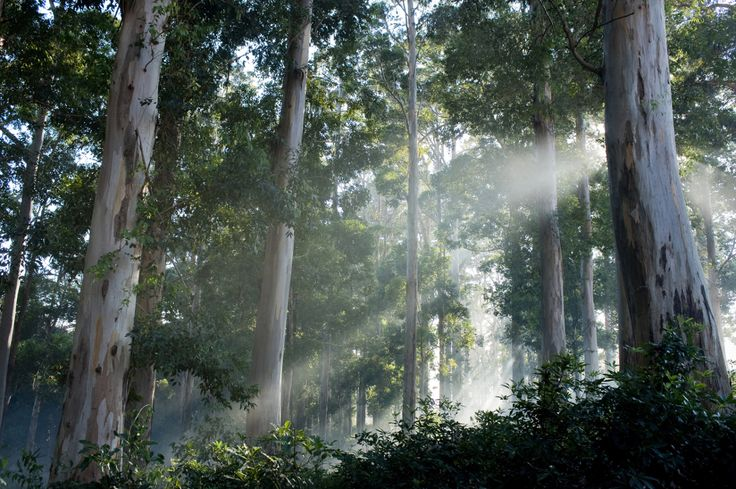 Gum trees in Tokai Forest. Cape Town. South Africa.