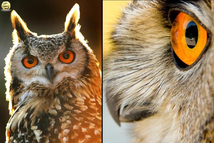 Baykuşun gözlerinin böyle büyük olarak yaratılmış olmasınınhikmetlerinden biri özellikle az ışıklı durumlarda verimliliğini arttırmaktır. Gözün şekli de küre değil uzatılmış bir tüp gibidir. Bunlar kafatasındaki Sclerotic halkalar adı verilen kemiksi yapılar tarafından yerlerinde tutulurlar. Bu nedenle gözlerini oynatamazlar yani sadece doğrudan önlerine bakabilirler!