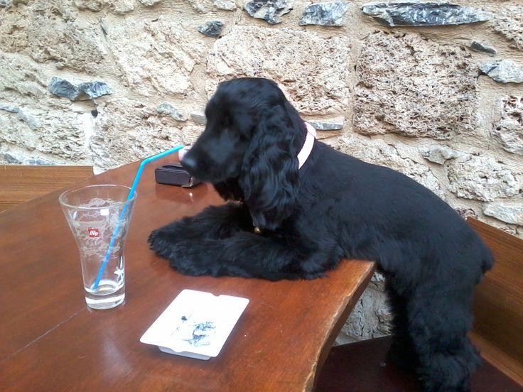 english cocker spaniel . she has just had a freddo espresso
