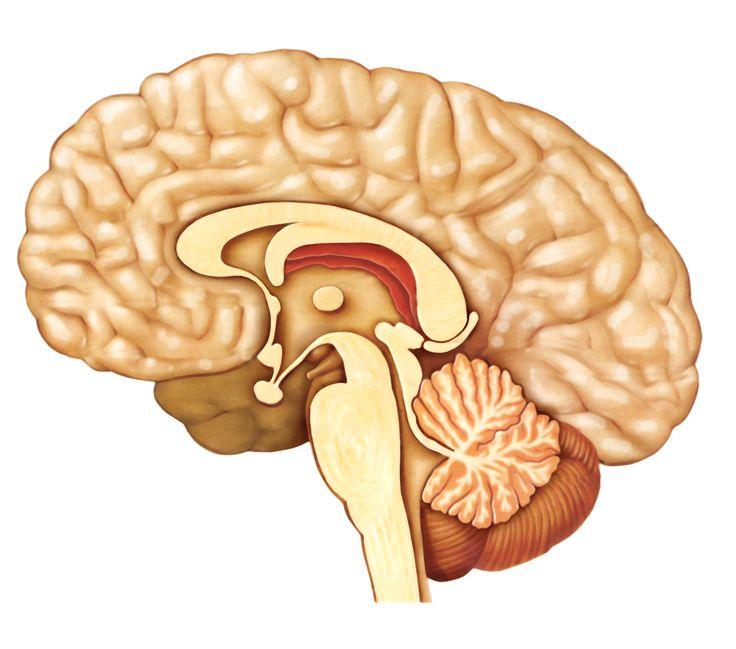 Przysadka mózgowa.
