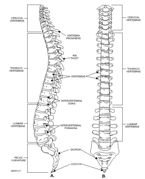 Worksheets Vertebral Column Worksheet 17 best images about middle school on pinterest models spine worksheet google search