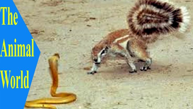 Zebra escapes from crocodile teeth but deer and buffalo are not - Squirrels fighting with snakes